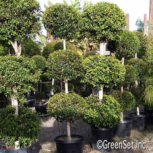 Topiary: Eugenia 3 Ball