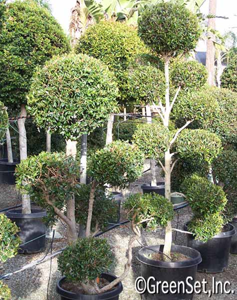 Topiary eugenia multi ball in hedges topiary live for Ligustrum pompon
