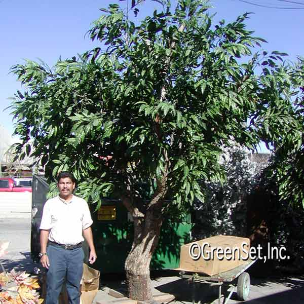 Mango Silk Tree