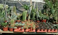 Assorted Cactus - Front View