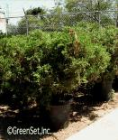 Juniper Shrub
