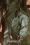 Kelp Brown - Close-Up