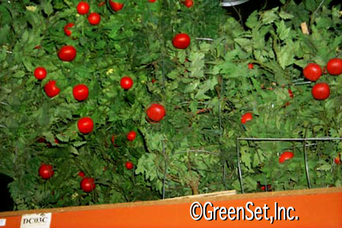 Silk Tomato Bushes