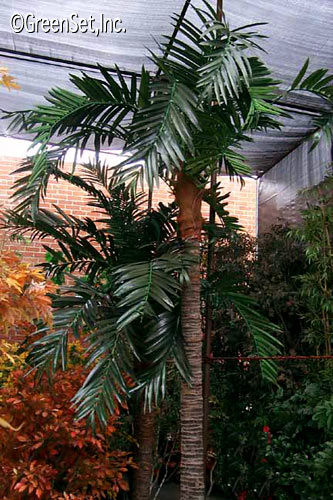 Areca Stalk Palm with Kentia Foliage
