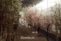 Assorted Silk Cherry Blossom Trees